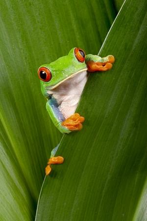 rode eyed boomkikker gluren nieuwsgierig tussen groene bladeren in het regenwoud in Costa Rica nieuwsgierig schattige nachtdier tropische exotische amfibie