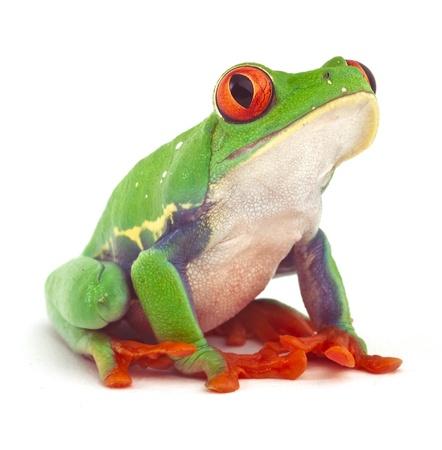 rode eyed treefrog macro geïsoleerd exotische kikker nieuwsgierig dier heldere, levendige kleuren Stockfoto