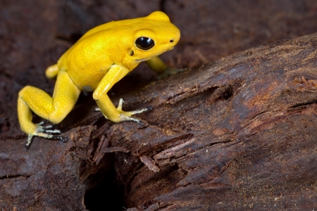 dart frog: poison frog very poisonous animal with warning colors Phyllobates terribilis Colombia amazon rainforest toxic amphibian Stock Photo