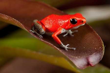 poison dart frogs: red frog, oophaga pumiio or strawberry poison dart frog of Panama and Costa Rica Stock Photo