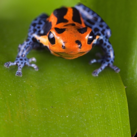 Frog with red lines and blue legs, poison dart frog of amazon rain forest in Peru, poisonous animal of tropical rainforest, pet in terrarium photo