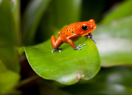 red frog with blue legs, poison dart frog, beautiful rainforest species of costa rica and panama kept as a pet in a terrarium ,oophaga pumilio exotic amphibian photo