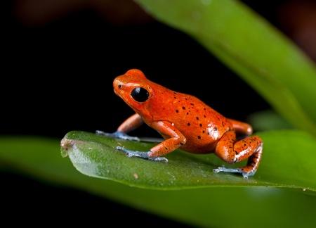 rana venenosa: especies de ranas selva tropical de Costa Rica y Panam� como mascota en un terrario,, rana venenosa de dardo, Oophaga pumilio ex�tico anfibio