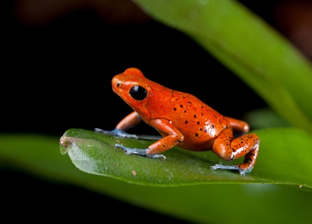 strawberry frog: frog rainforest species of costa rica and panama kept as a pet in a terrarium ,, poison dart frog, oophaga pumilio exotic amphibian