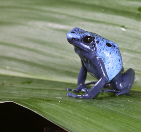 Blue poison dart frog dendrobates azureus,endangered amphibian species of tropical amazon rainforest Suriname photo