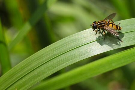 mimicry: hoverfly sitting on grass, mimicry in insects hover fly
