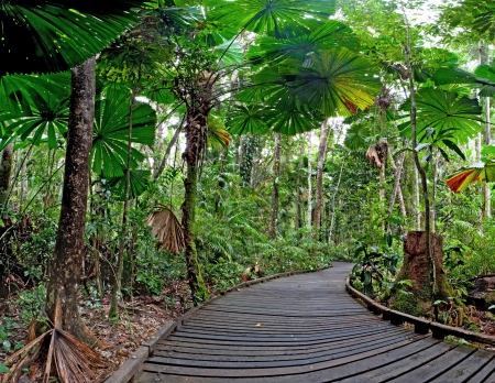 tribulation: trail in fan palm tropical rain forest Cape Tribulation Australia, Daintree rainforest, ancient jungle tourism and travel explore the wilderness