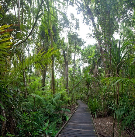 tribulation: trail in tropical rainforest Cape Tribulation AUstralia, ancient rain forest exploration hiking in wilderness Stock Photo
