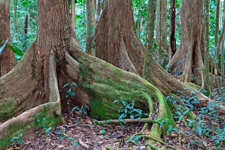 tribulation: tree roots at tropical rainforest queensland Australia, Cape tribulation ancient rain forest