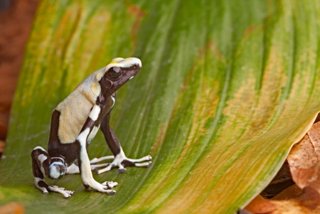 yellow and black poison dart frog: frog in tropical Amazon rainforest, poison dart frog, exotic animal of rain forest in French Guyana,Suriname, and Brazil, Yellow back Dendrobates tinctorius