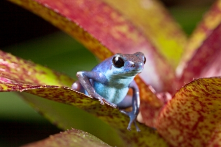 strawberry frog: blue poison dart frog Oophaga pumilio of tropical rainforest in Panama