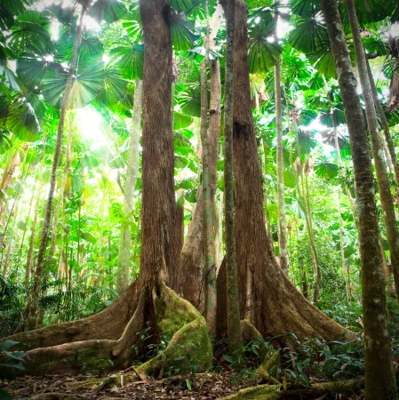 tribulation: gigantic trees in fan palm rainforest queensland Australia cape tribulation daintree rain forest pristine jungle in nature reserve Stock Photo