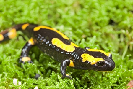 amphibian: fire salamander bright colored amphibian and poisonous animal with warning colors terrestrial newt salamandra Stock Photo