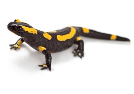 poisonous: fire salamander bright colored amphibian and poisonous animal with warning colors terrestrial newt salamandra Stock Photo