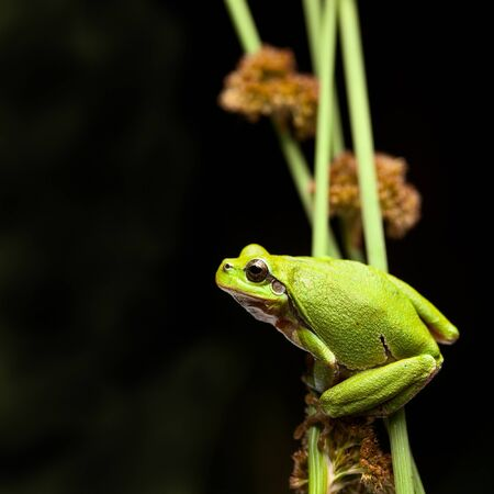 wildlife conservation: tree frog crawling in vegetation at night, European treefrog Hyla arborea, an endangered amphibian species climbing, protected green animal on list of nature and wildlife conservation Stock Photo