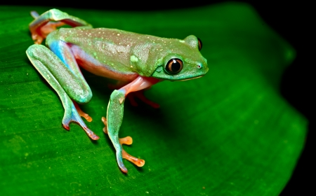 exotic frog: tropical frog on leaf in rain forest of Costa Rica  Stock Photo