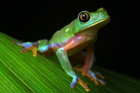 treefrog: tree frog tropical treefrog Stock Photo