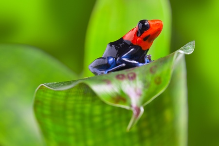 poison arrow frog of Amazon rain forest Peru tropical exotic amphibian of rainforest small and cute animal with bright red warning colors photo