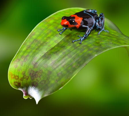 poison dart frog red blue and black small amphibian of tropical Amazon rain forest Peru dendrobates or Ranitomeya benedicta bright warning colors of poisonous animal sitting on a leaf photo