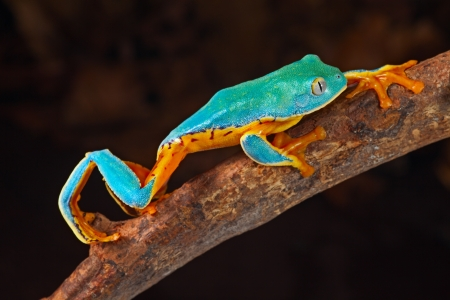tree frog climbing branch tropical treefrog in Amazon rain forest Cruziohyla or Phyllomedusa calcarifer lives in exotic rainforest of Colombia, Costa Rica, Ecuador, Nicaragua and Panama photo