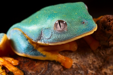 calcarifer: tree frog head tropical rainforest treefrog lives in Amazon rain forest of Panama,Costa Rica,Colombia and Ecuador Animal with bright colors red, blue,orange and green Cruziohyla calcarifer