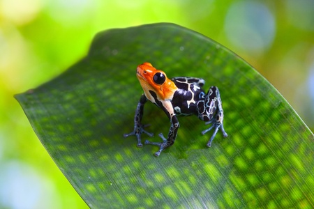 peru amazon: poison arrow frog ranitomeya fantastica of tropical Amazon Rain forest in Peru poisonous animal with warning colors