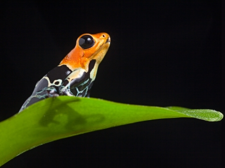 ranitomeya: frog in Amazon rainforest Peru tropical amphibian Fantastic poison dart frog Dendrobates fantasticus or Ranitomeya fantastica red warning color cute small animal