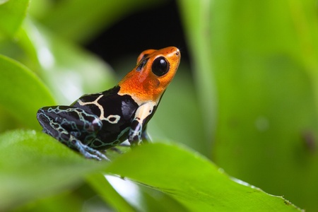 fantastic poison dart frog of tropical Amazon rainforest Peru Ranitomeya fastastica or dendrobates fantasticus exotic amphibian and animal with bright warning colors photo