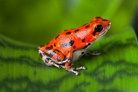 poison dart frog: red frog on leaf in Panama rain forest Bocas del Toro, poison dart frog oophaga pumilio exotic tropical amphibian and poisonous animal with warning colors