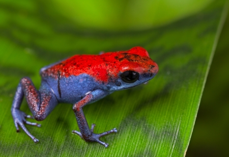 dart frog: frog red and blue amphibian poisonous animal of tropical rain forest Panama Isla Escudo strawberry poison dart frog Oophaga pumilio Stock Photo