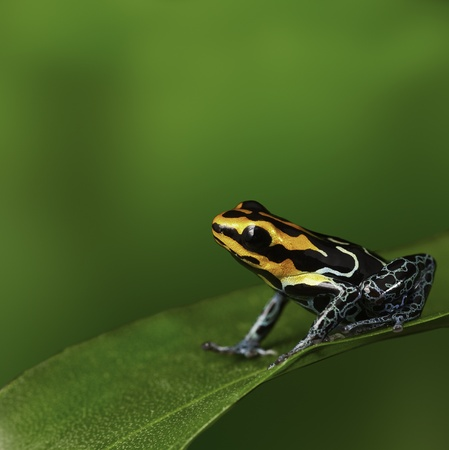 ranitomeya: Amazon frog in torpical rain forest Peru poison arrow frog or dartfrog with bright vivid colors