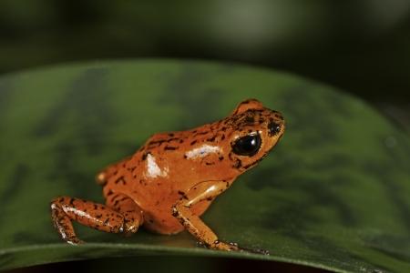 rainforest animal: red poison dart frog Costa Rica tropical rainforest animal bright vivid colors