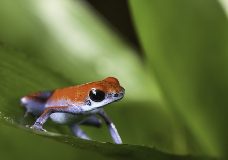strawberry frog: poison arrow frog on leaf in tropical rainforest of Panama Bocas del toro isla Escudo red and blue amphibian with lots of copy space Stock Photo