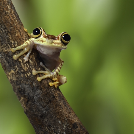 tree frog Ecuador tropical Amazon rainforest treefrog on branch in exotic rain forest cute small amphibian and nocturnal animal Stock Photo - 17411854