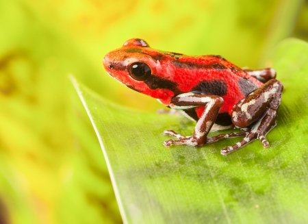 red strawberry poison dart frog tropical amphibian from jungle of Panama. These rain forest animals are poisonous pets kept in a terrarium. photo