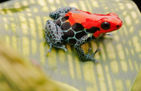 tropical pet frog, ranitomeya amazonica. Red poison dart forg from Amazon rain forest in Peru. These exotic amphibian are often kept in a terrarium, they are poisonous animals with beautiful bright colours photo