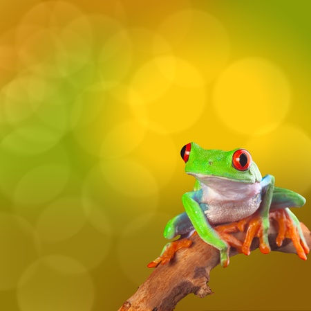 Red eyed tree frog from Costa Rica rain forest. Beautiful tropical treefrog on a bright background with copy space. Exotic rainforest animal with cute and funny looks. Agalychnis callidryas photo