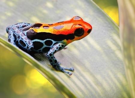 poison frog: Rana de las flechas de color rojo brillante y azul. Rana de bosque tropical exótico animales venenosos Amazon lluvia en el Perú. Estos hermosos anfibios son a menudo mantenidos como mascotas en el terrario de la selva. Ellos son muy pequeñas por lo que esta es una imagen macro. Ranitomeya amazonica Foto de archivo