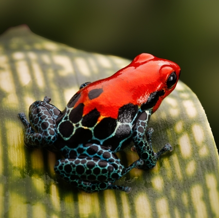 poison frog: red poison dart frog. Tropical amphibian from Peru rain forest, a red morph of Ranitomeya amazonica (Arena Blanca) These animal are often kept as exotic pet in a terrarium.