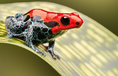 red poison arrow frog, beautiful macro of a tropical animal living in the Amazon rainforest of Peru. A poisonous amphibian often kept as an exotic pet in a rain forest terrarium.  Stockfoto