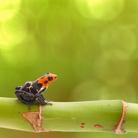 Poison arrow frog on branch green background Tropical small exotic amphibian from Amazon jungle in Peru Iquitos kept as pet animal in a jungle terrarium. Macro of beautiful cute poisonous amphibian ranitomeya fantastica