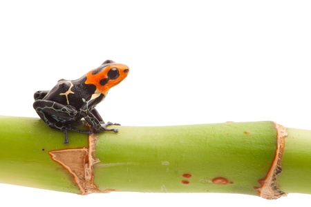 ranitomeya: Poison arrow frog on branch isolated. Tropical small exotic amphibian from Amazon jungle in Peru kept as pet animal in a jungle terrarium. Macro of beautiful cute poisonous amphibian ranitomeya fantastica Stock Photo