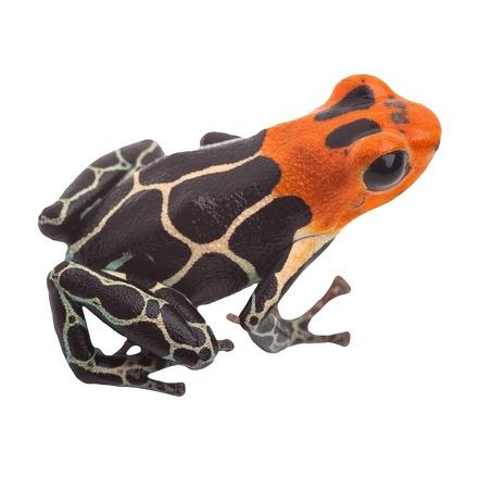 macro animals: Poison arrow frog isolated. Tropical small exotic amphibian from Amazon jungle in Peru kept as pet animal in a jungle terrarium. Macro of beautiful cute poisonous amphibian ranitomeya fantastica
