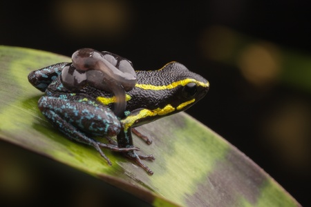 poison dart frog: poison dart frog with tadpoles on back. Parental care in poison arrow frogs where the male carries the tadpole. Hyloxalus azureiventris tropical animal from Amazon rain forest