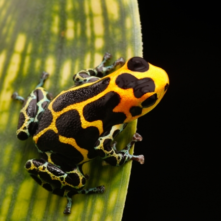 terrarium: yellow striped poison arrow frog from Amazon rainforest in Peru. These poisonous animals are often kept as exotic pet animal in a tropical rain forest terrarium.