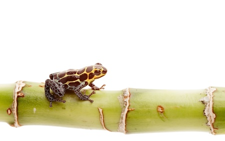 poison dart frog isolated, Small amphibian and exotic pet from tropical Amazon rain forest in Peru. Stock Photo - 19561436