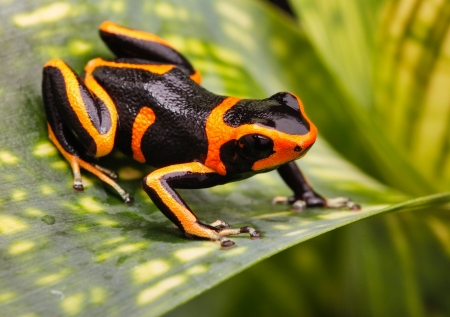 terrarium: Red striped poison dart frog. A poisonous but beautiful small animal from the Amazon rain forest of Peru. These cute amphibian are often kept as a tropical and exotic pet in a terrarium. Ranitomeya imitator