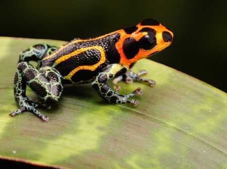 terrarium: tropical poison frog kept as exotic pet animal in terrarium. These poisonous animals live in the Amazon rain forest of Peru.
