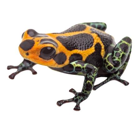 ranitomeya: poison dart frog isolated, macro tropical exotic pet animal from Amazon rain forest in Peru. Beautiful cute animal, ranitomeya imitator Stock Photo