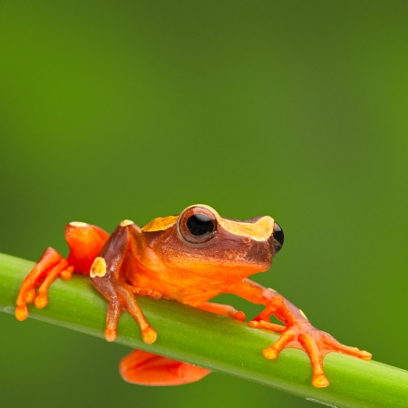 red frog: red tree frog climbing in Amazon rain forest. Small amphibian with big eyes, Dendropsophus leucophyllatus from tropical jungle of Peru, Brazil, Bolivia, Colombia and Ecuador Stock Photo